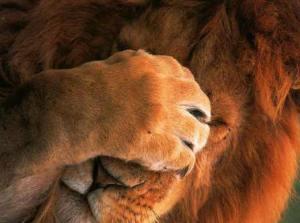 embarrassed lion