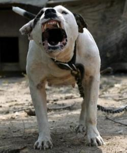 pit-bull-growling
