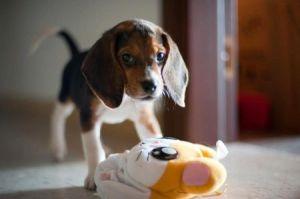 wittle beagle